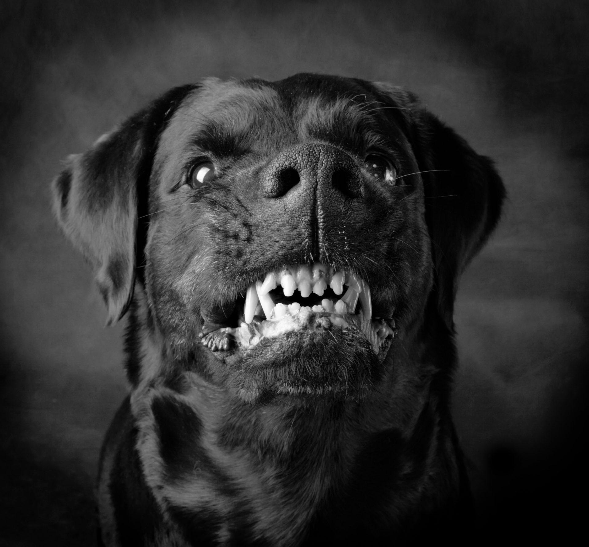 Hund zeigt Zähne
