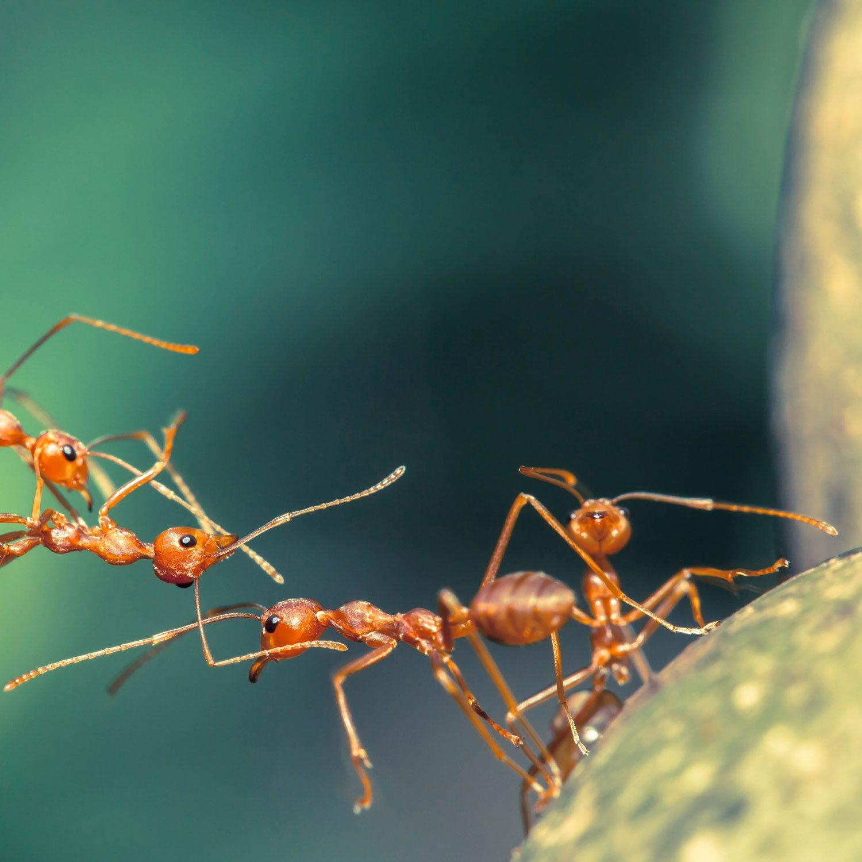 Ameisen Team